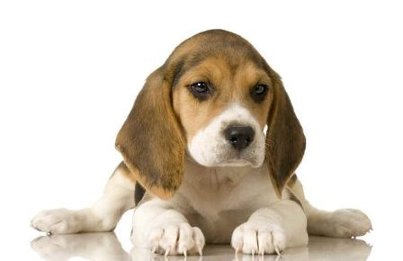 puppy-dog-beagle_448